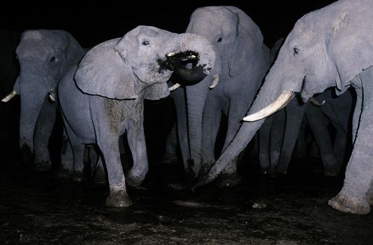 Herd of elephants drinking water at night time