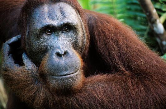 Close up of an Orangutan in the wild
