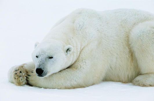 White Polar Bear sleeping on ice