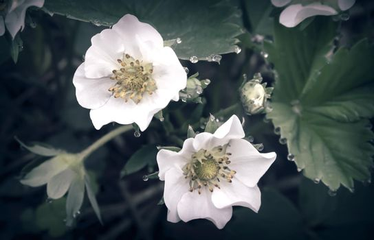 Delicate white strawberry flowers with dew drops on the flowers and leaves growing in the garden.