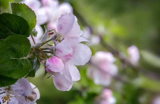 Branch of apple-tree with plenty of white-pink colors and buds in a green garden in spring.
