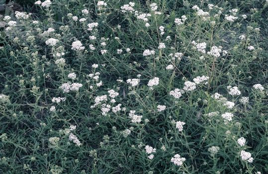 In the meadow among the grass grows medicinal plant yarrow, achillea millefolium. It has a hemostatic, anti-inflammatory, bactericidal effect.