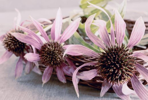 Beautiful Echinacea flower purple on light background. Presented close-up.