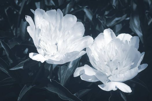 Two beautiful large white peonies blooming in the garden among the green leaves, photographed close-up.