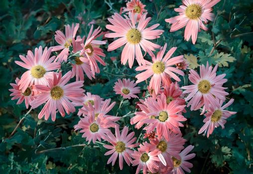 In the garden on a bed of green leaves bloom beautiful autumn chrysanthemums.