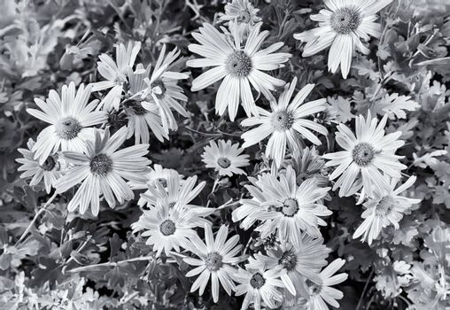 In the garden on a bed of green leaves bloom beautiful autumn chrysanthemums. Black-and-white image.