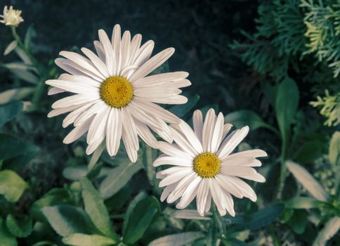 Beautiful Daisy flowers on a background of green foliage in the garden. Presented close-up.