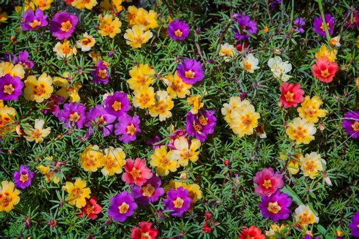 On a bed of beautiful flowers bloom Portulaca, a variety of colors. Presented close-up.