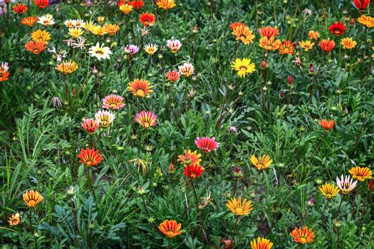 On the flower bed in the garden bloom beautiful flowers of different colors, resembling the shape of a Daisy.