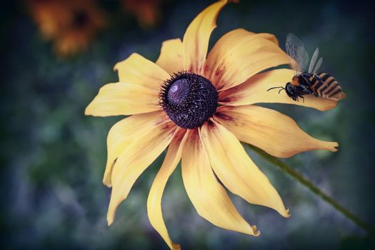 In the garden against the green leaves blooms beautiful yellow rudbecia, on which sits a bee.