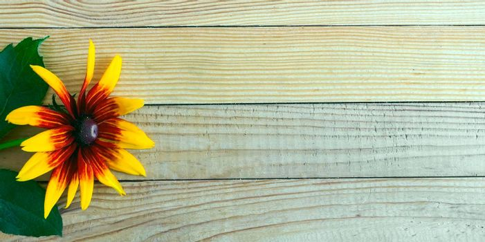 On a light wooden rustic background a beautiful rudbecia flower with large petals. Top view, copy space.