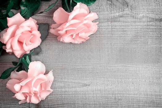 On a light wooden rustic background luxurious pink roses with delicate petals. Top view, copy space.