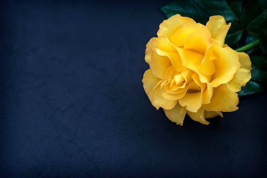 Luxurious pink rose with leaves on a dark blue background .
