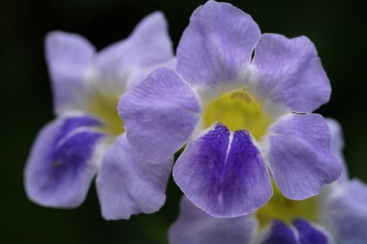 A close up of bright purple flowers isolated on black background Selective focus.