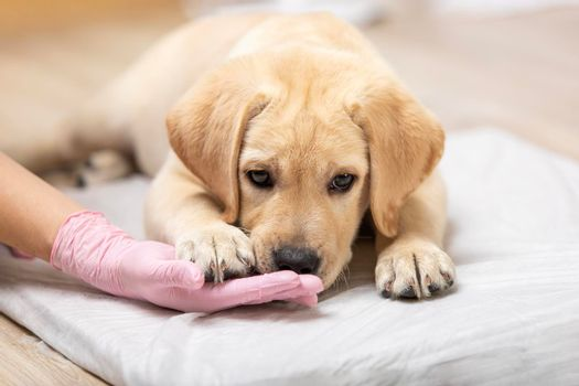 retriever puppy playing with vet. copyspace medicine pet care profession occupation job owner.