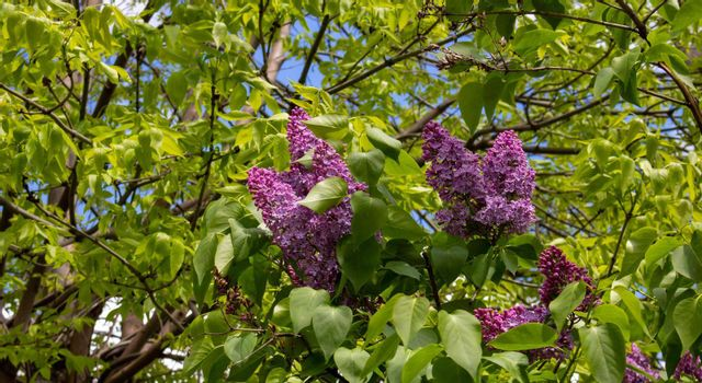 Lilac blossom flowers spring view. Spring lilac flowers. Lilac blooms. A beautiful bunch of lilac.