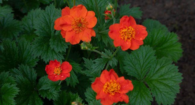Geum coccineum borisii or dwarf orange avens red flower with green background.