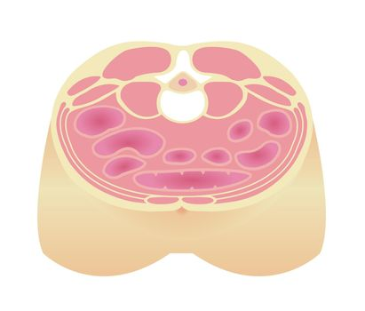 Type of obesity illustration . Abdominal sectional View . Healthy body/ Standard type.
