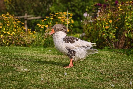 Domestic goose on the lawn