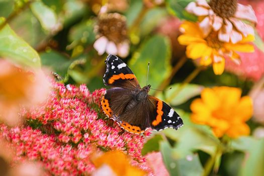Butterfly Red admiral on the flowers