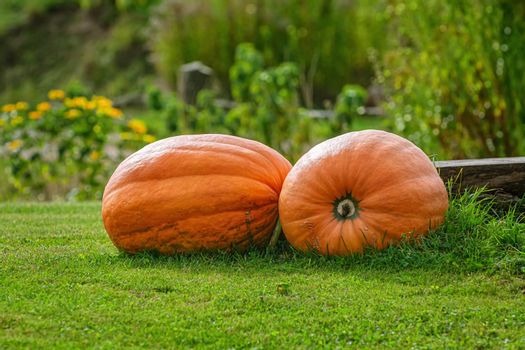 Two big pumpkins on the lawn