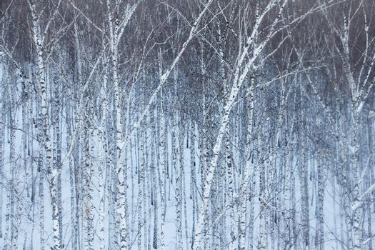 Birch forest in snow background, black-white landscape, beautiful panorama
