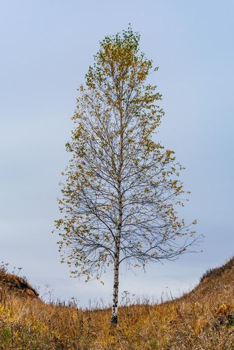 Birch tree on hillside