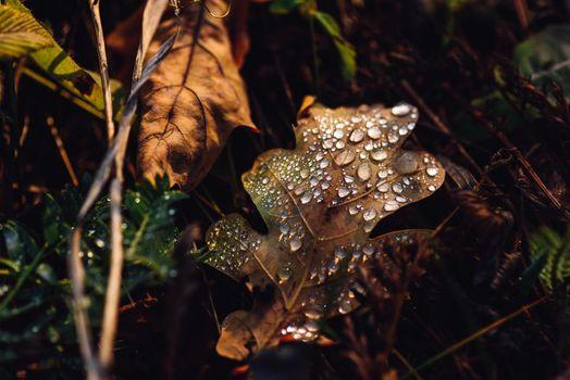 Fallen oak leaf with drops