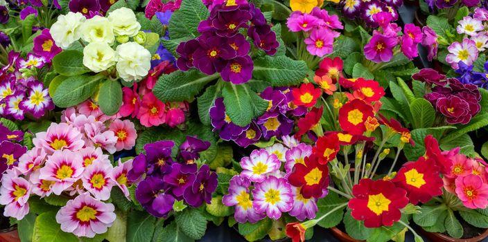 Primrose is multicolored in full bloom. Primula vulgaris blooms.