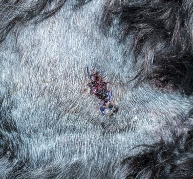 Detail of suturing or stitching on dog skin following procedure