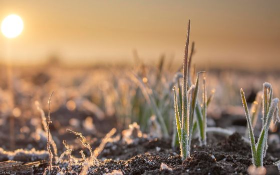 Field with winter wheat crops, leaves of germinating grain covered with morning frost. Sunrise early in the morning on the farm field.