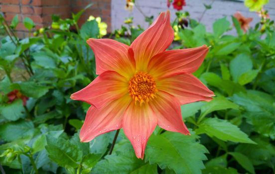 Orange Dahlia on a green flower bed.