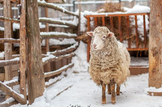 A white curly-haired sheep in a wooden pen. Sheep farming in winter. Household.