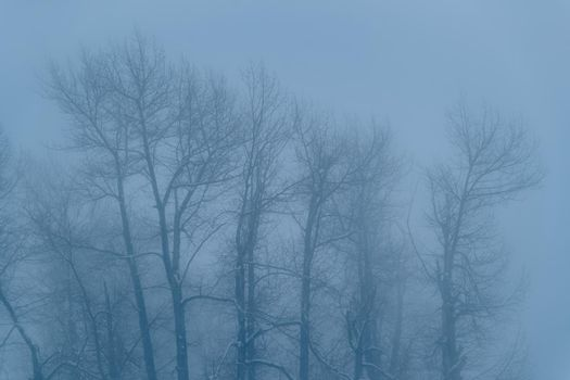 Natural Cold Blue Background. Huge Trees Trunks. Foggy Weather in the Morning Winter Park.