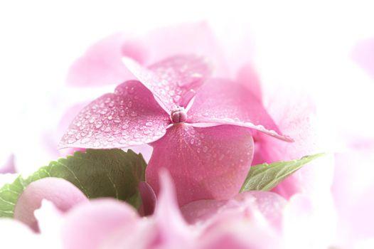 Hydrangea. Hortensia flowers background