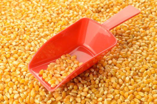 Scooping Wholesale Corn Kernels