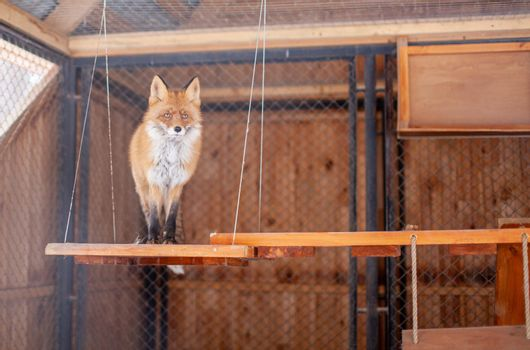 Wild red Fox sitting in a cage at the zoo. High quality photo