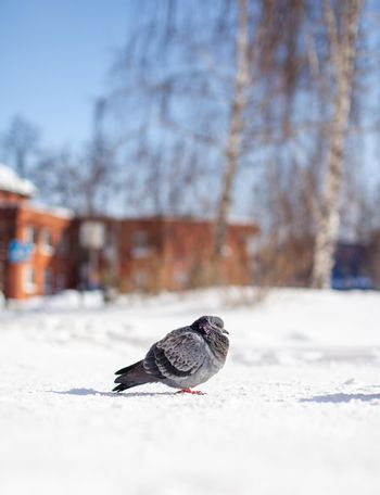Beautiful pigeons sit in the snow in the city park in winter. High quality photo