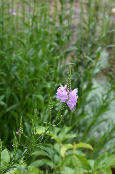Obedient plant Vivid