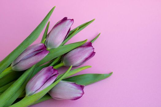 Delicate lilac tulips on a pink background. Greeting card, wallpaper, background. Happy Mother's Day, Easter, Valentine's Day, or wedding.