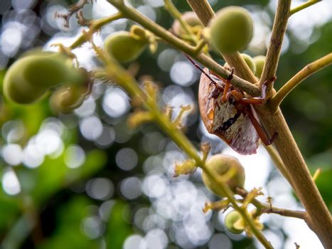 Longan stink bug catch on the bouquet of young Longan leaves