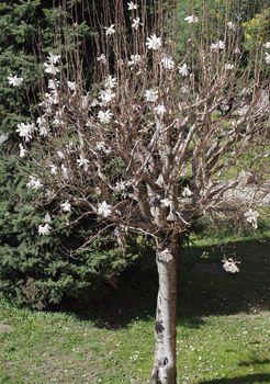 Sweetbay (Magnolia) tree ((Sweetbay (Magnolia))