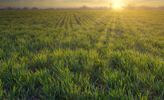 Agriculture, green wheat field, morning sunrise. Leaves of germinating grain on the farm.