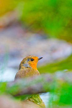 Robin, Mediterranean Forest, Spain
