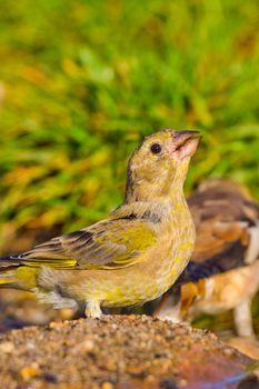 Hawfinch, Mediterranean Forest, Spain