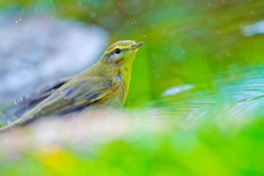 Willow Warbler, Mediterranean Forest, Spain