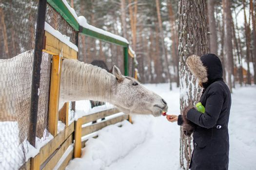 A woman feeds a horse in the zoo in winter. The horse has poked its head through the fence and is eating