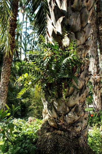 Beautiful fern leaves growing in a palm tree trunk in the garden- Cyritomium Falcatum