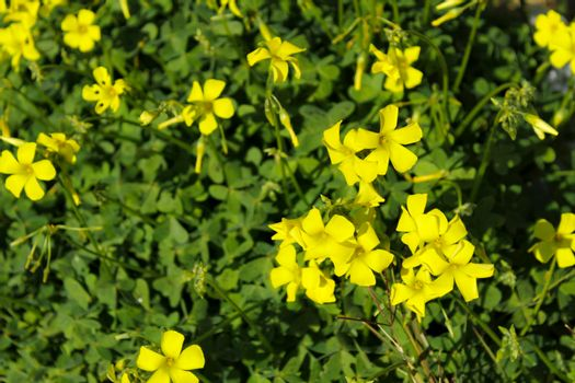 Beautiful yellow Oxalis pes-caprae flowers in spring