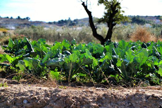 Beta Vulgaris, swiss chard plantation in Alicante, Spain